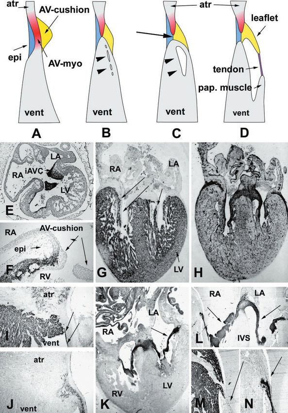 Famous Human Developmental Anatomy Center Ideas Image Of Internal
