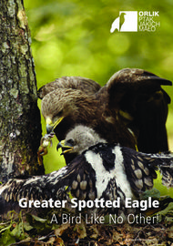 Greater Spotted Eagle - A Bird Like No Other!