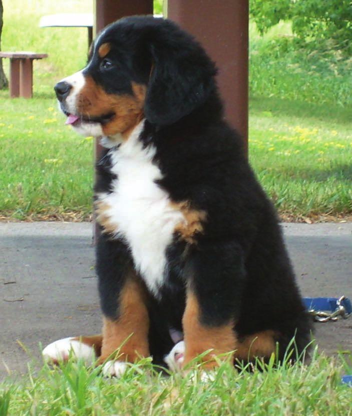 Bernese Mountain Dog Club Of Southeastern Wisconsin Puppy