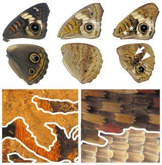 Müllerian mimicry